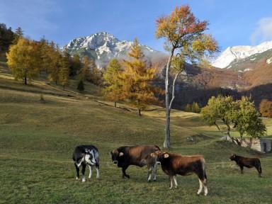 Tolminska slovi po sirih in skuti, pridelanih iz mleka krav, ki se pasejo na planinah.